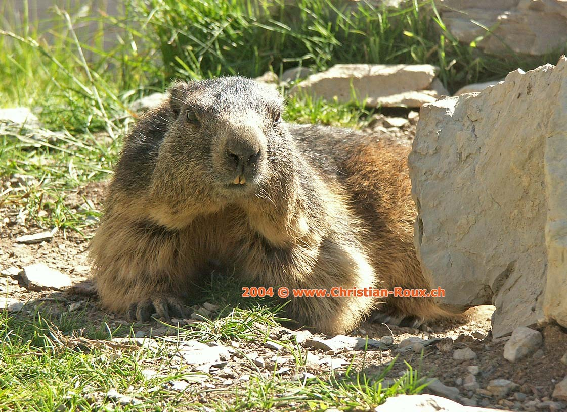 Rochers de Naye Marmotte (33940)