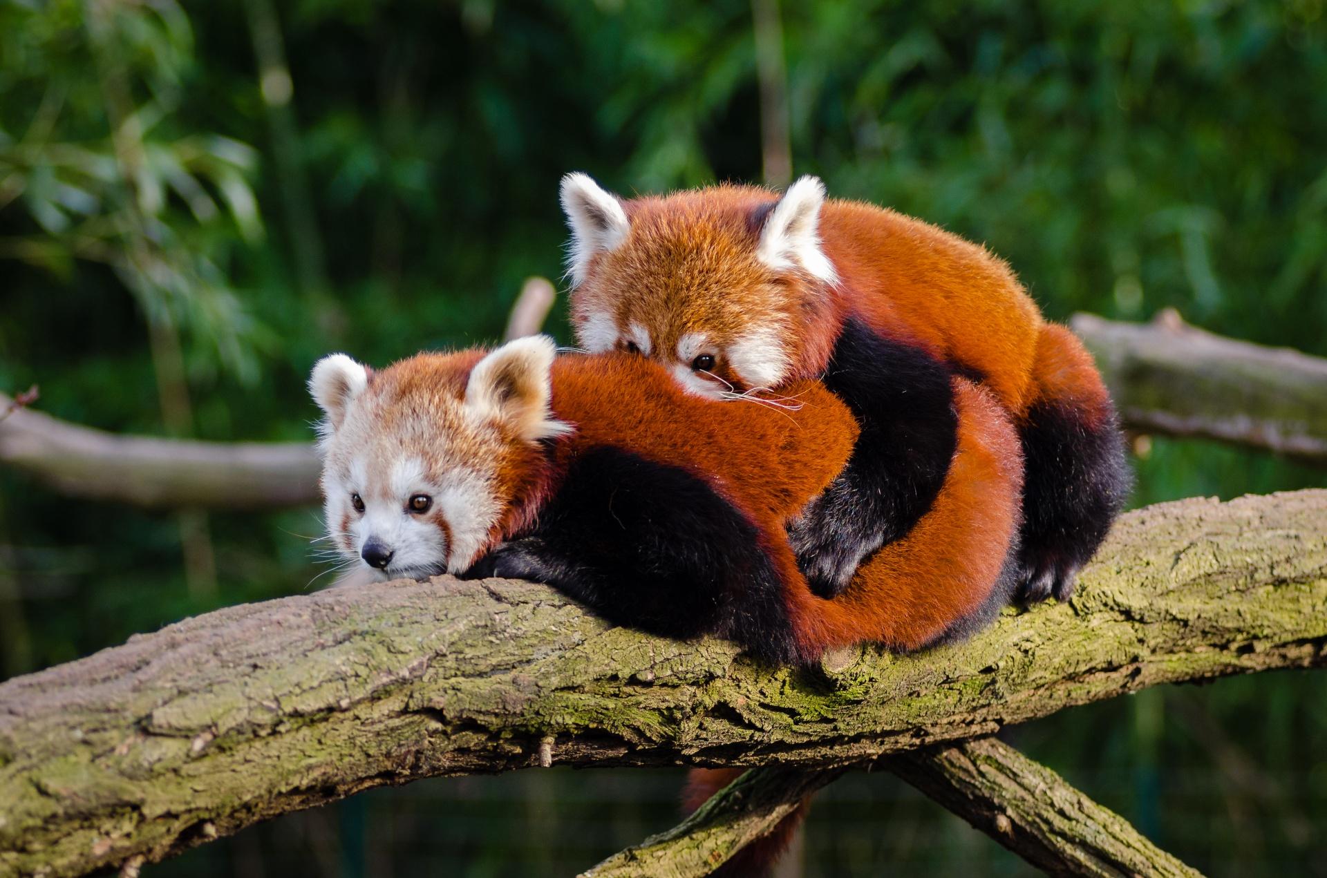 Accouplement Pandas Roux