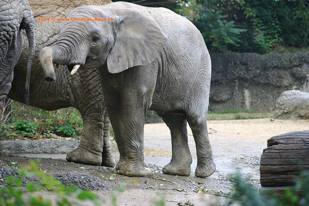 Basel Zoo Éléphant d'Afrique (35368)