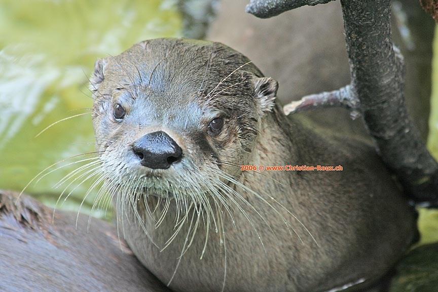 Basel Zoo Loutre (44606)