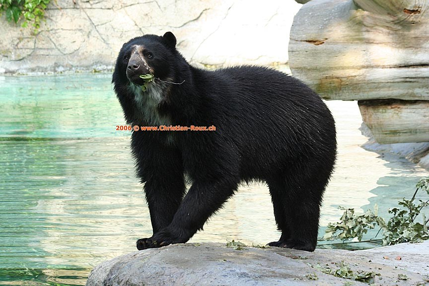 Basel Zoo Ours des Andes (44614)